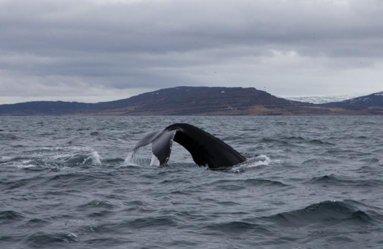 Whale watching in Isafjordur (c) Clara Vannucci