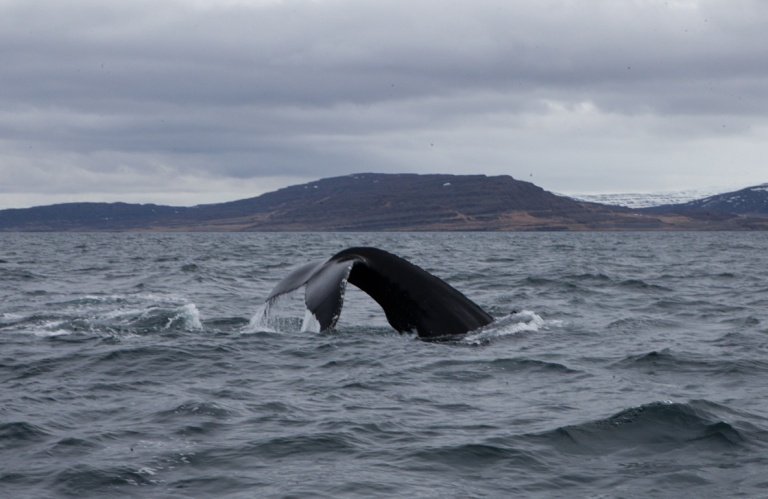 Whale watching in Isafjordur (c) Clara Vannucci