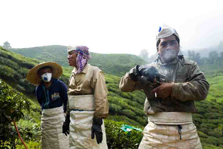 Malesia, settembre 2015. Men working in tea plantations in Caron highlands.